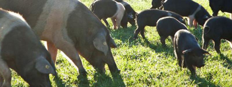 Little-piggy